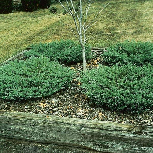 Juniperus horizontalis (Ienupar tarator)