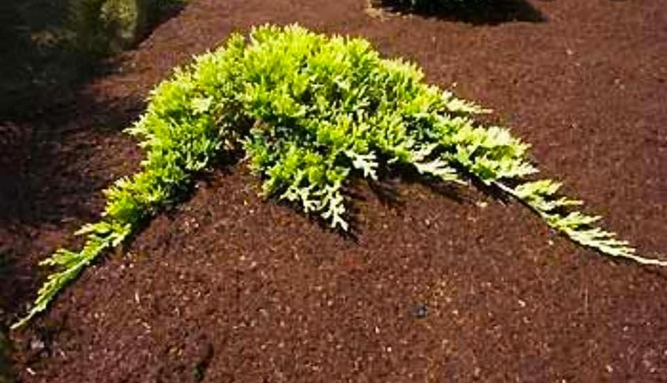 Juniperus horizontalis ,,Golden Carpet,,