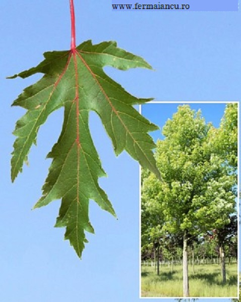 Acer saccharinum (Arțar argintiu)