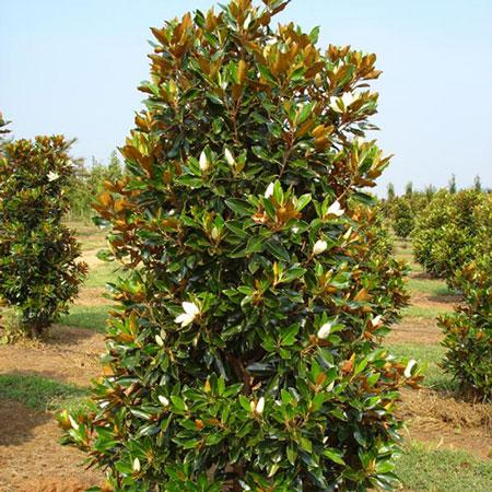 Magnolia Grandiflora (Magnolie vesnic verde)