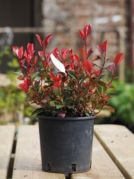 Photinia fraseri – Red robin